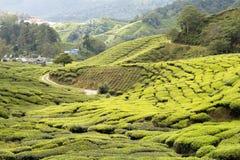 Tea plantation. Road through tea plantation green carpet Royalty Free Stock Photo