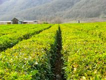 Tea plantation rows in Caucasus stock photography