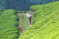 Tea plantation in Rwanda Stock Images
