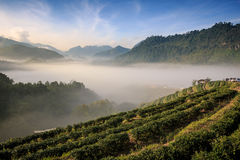 Tea plantation 2000 `s. At Doi Ang Khang in Chiang Mai, Thailand Royalty Free Stock Image
