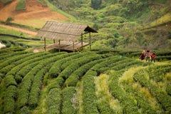 Tea plantation 2000 `s. At Doi Ang Khang in Chiang Mai, Thailand Stock Photo