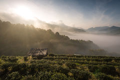 Tea plantation 2000 `s. At Doi Ang Khang in Chiang Mai, Thailand Stock Image