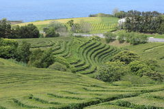 Tea plantation on Sao Miguel, Azores Stock Photos