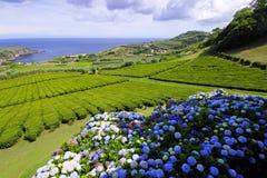 The tea plantation Stock Images
