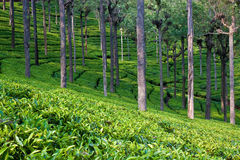 Tea Plantation Scene. Tea garden in Tamil Nadu, India stock photography