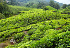 Tea plantation - Series 2 Royalty Free Stock Image