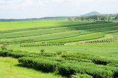 Tea plantation at Singha Park,Chiang Rai Thailand Stock Images