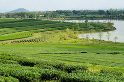 Tea plantation at Singha Park,Chiang Rai Thailand Royalty Free Stock Photo