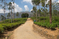 Tea plantation. Stock Photos