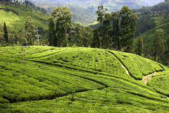 Tea plantation in Sri Lanka Royalty Free Stock Photography