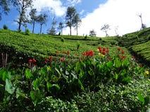 Tea plantation, Sri Lanka, Asia Royalty Free Stock Photo