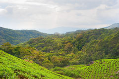Tea plantation, Sri Lanka Stock Image