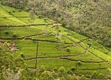Tea plantation. Sri Lanka Royalty Free Stock Photography