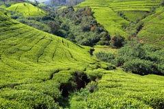Tea plantation in Sri Lanka Stock Photos