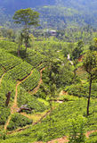Tea plantation in Sri Lanka Royalty Free Stock Photo