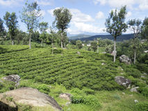 Tea plantation in Sri Lanka Royalty Free Stock Images