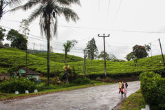 Tea plantation in Sri Lanka, Nowember 2011 Stock Image