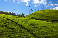 Tea plantation in Sri Lanka Stock Images