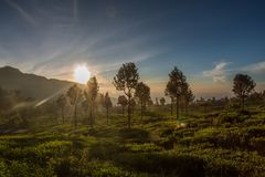 Tea plantation in Sri Lanka. Sunrise over beautiful green and misty tea plantation in Sri Lanka Stock Images