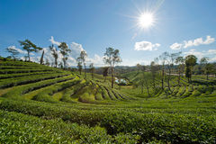 Tea plantation with sun ray under the blue sky Royalty Free Stock Photo