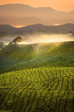 Tea Plantation Sunrise early morning with fog at Cameron Highlan Royalty Free Stock Images