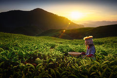 Tea plantation. Sunrise over Sungai Palas tea plantation in Cameron Highlands with child girl tribal , Pahang, Malaysia Royalty Free Stock Photo