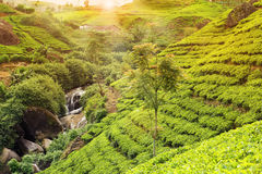 Tea plantation sunset Royalty Free Stock Image