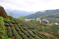 Tea plantation in Taiwan Stock Photos