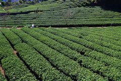 Asia tea plantation. Tea plantation in Taiwan. Hillside tea plantations in Shizhuo, Alishan mountains stock photography
