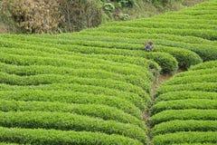 Tea plantation. A  tea farmer is picking tea in Pangming Tea Plantation in Hanzhong, Shaanxi, China Royalty Free Stock Image