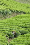 Tea plantation. A  tea farmer is picking tea in Pangming Tea Plantation in Hanzhong, Shaanxi, China Royalty Free Stock Photography