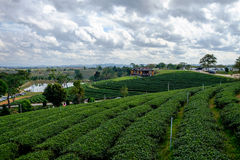 Tea plantation with tea leaves Royalty Free Stock Images