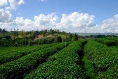 Tea plantation with tea leaves Stock Photography