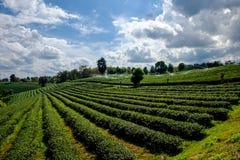 Tea plantation with tea leaves Royalty Free Stock Photo