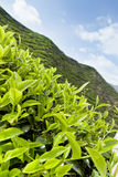 Tea plantation, tea leaves close up Royalty Free Stock Photos