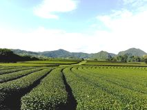 Tea plantation. Is a beautiful stock photography