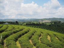 Tea Plantation. Green, agriculture, greentea stock photo