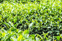 Tea plantation in Thailand Stock Photos