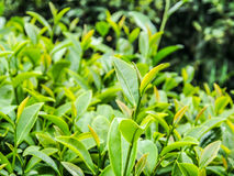 Tea plantation in Thailand Stock Image
