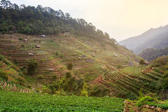 Tea plantation in Thailand Stock Image