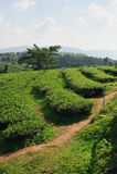 Tea plantation in Thailand Royalty Free Stock Image