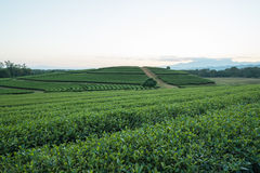 Tea plantation. In thailand and sunset background Royalty Free Stock Image