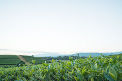 Tea plantation. In thailand and sunset background Stock Photography