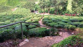 Tea Plantation Tourist Area Royalty Free Stock Photography