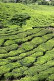 Tea Plantation with Tree Royalty Free Stock Photo