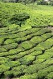 Tea Plantation with Tree Royalty Free Stock Photo