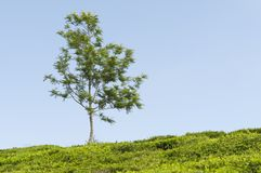 Tea plantation and a tree Royalty Free Stock Images