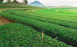 Tea plantation. Tea trees farm on the mountain in Thailand stock photography
