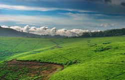 Tea plantation in Uganda Royalty Free Stock Image