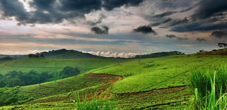 Tea plantation in Uganda Royalty Free Stock Photo